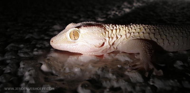 Gambia egyptian gecko