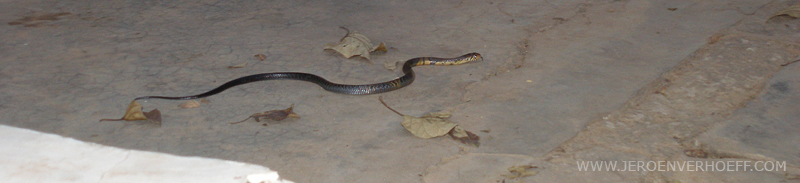 Gambia forest cobra