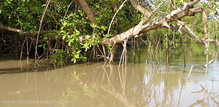 Gambia mangroves