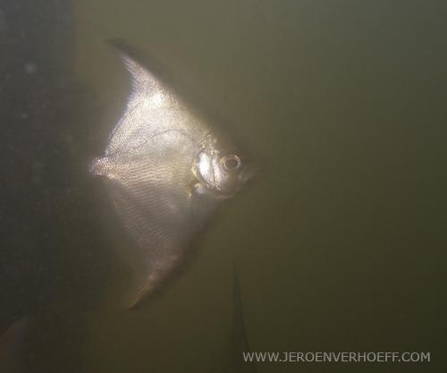 Gambia silver moony