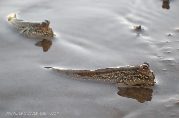Gambia mud skippers