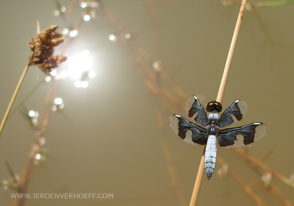 Gambia dragonfly