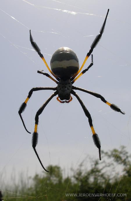 Senegal nebula spider