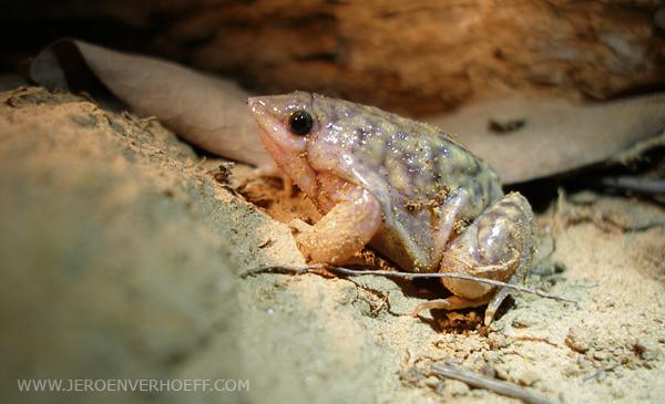 Senegal Niokolo Marbled Snout-burrower