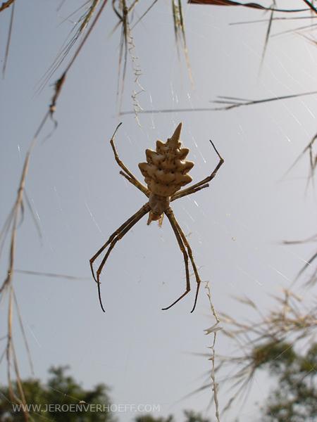 Senegal archiope spider