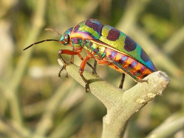 senegal beautiful bug