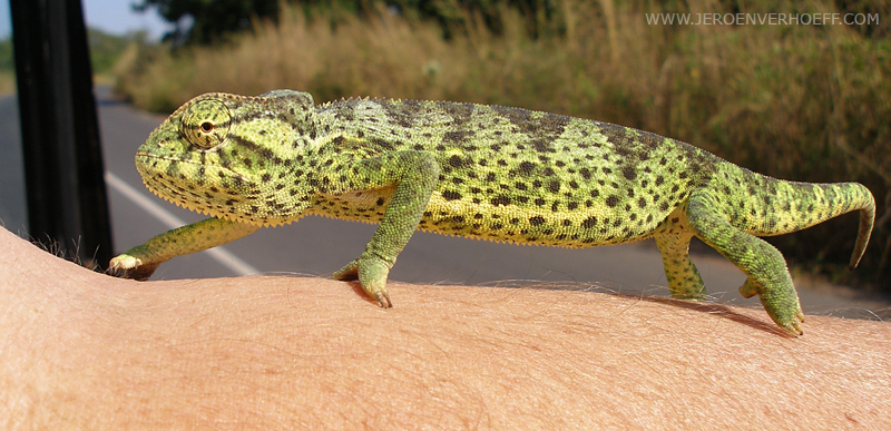 Senegal chameleon chamaeleo senegalensis