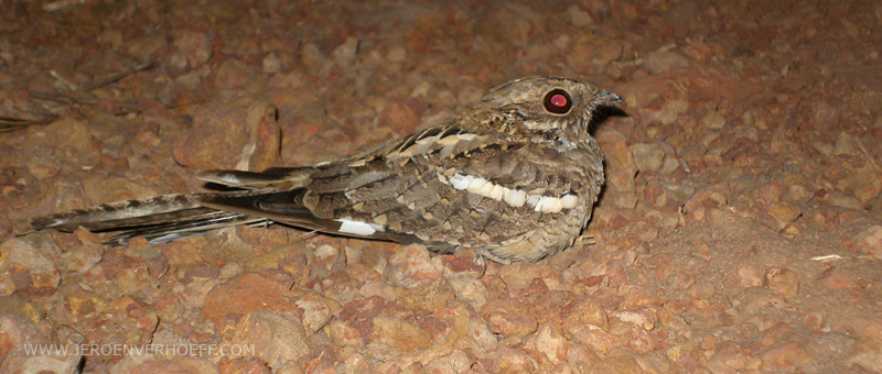 Senegal long-tailed nightjar
