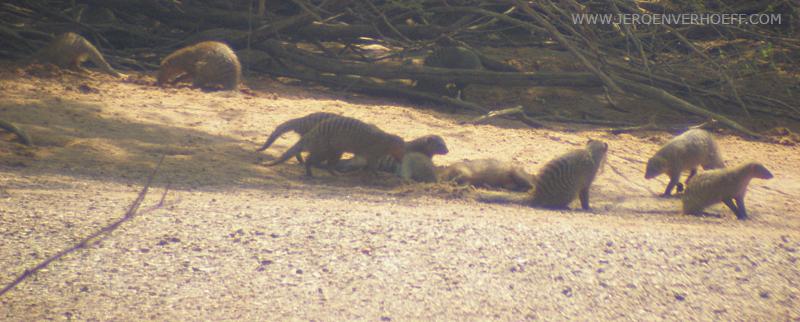 Senegal niokolo banded mongoose